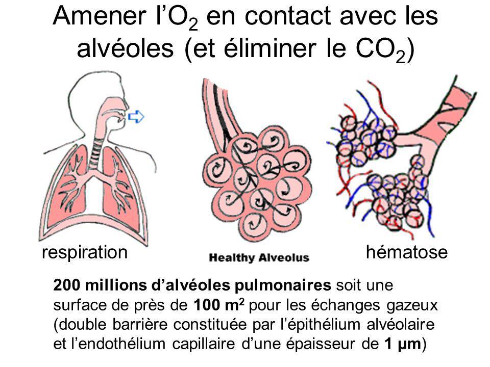 Amener lO 2 en contact avec les alvéoles (et éliminer le CO 2 ) respirationhématose 200 millions dalvéoles pulmonaires soit une surface de près de 100