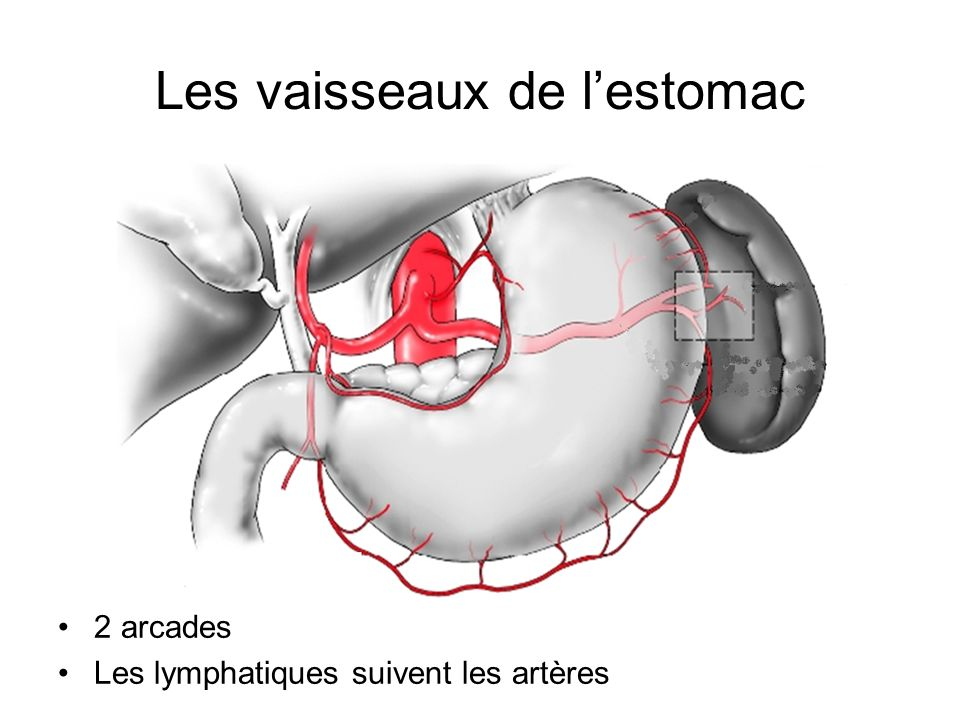 Les vaisseaux de lestomac 2 arcades Les lymphatiques suivent les artères