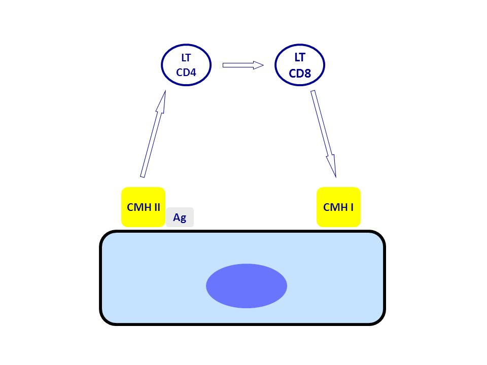 LT CD8 LT CD4 CMH II Ag CMH I