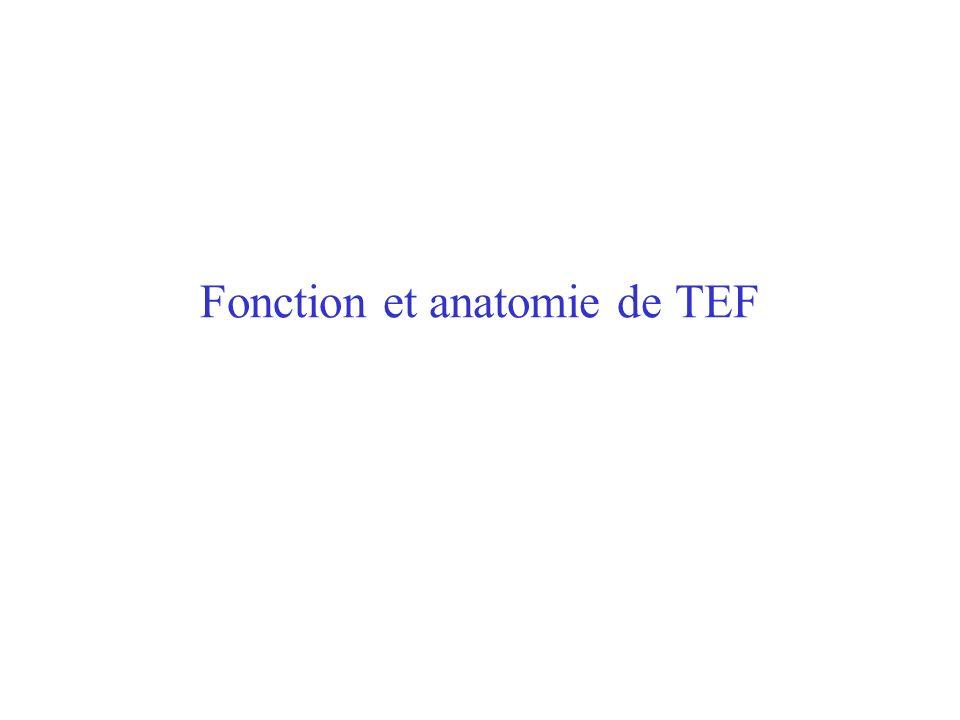 Fonction et anatomie de TEF