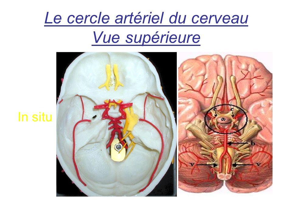 Le cercle artériel du cerveau Vue supérieure In situ