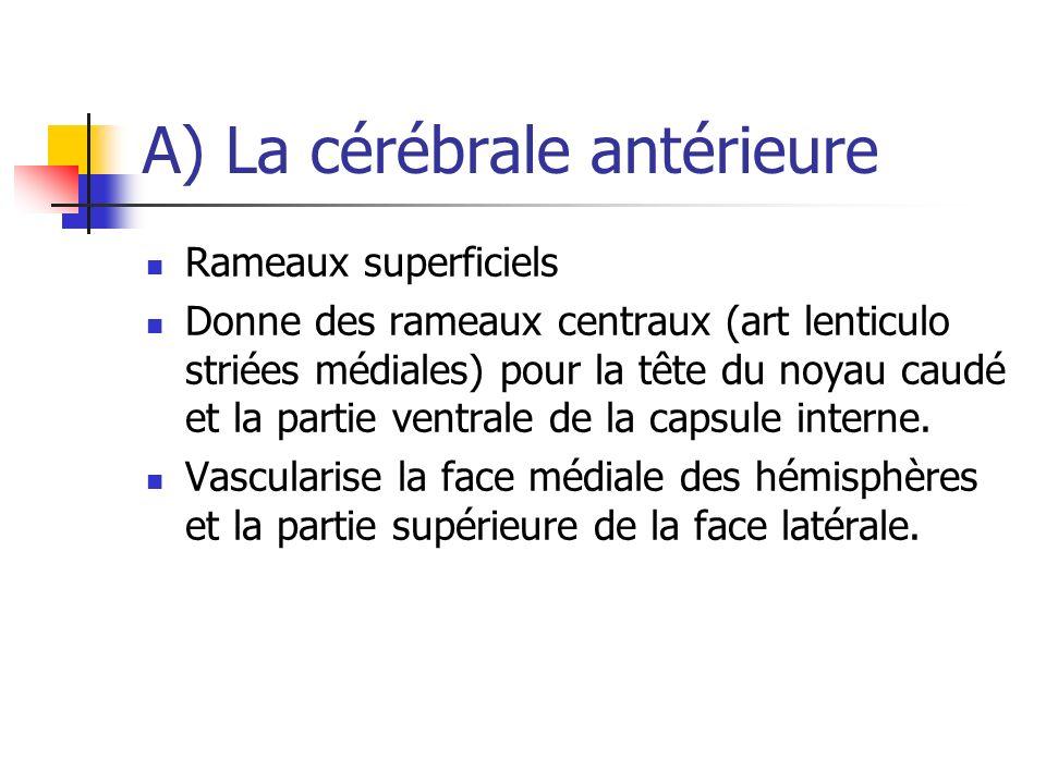 A) La cérébrale antérieure Rameaux superficiels Donne des rameaux centraux (art lenticulo striées médiales) pour la tête du noyau caudé et la partie ventrale de la capsule interne.