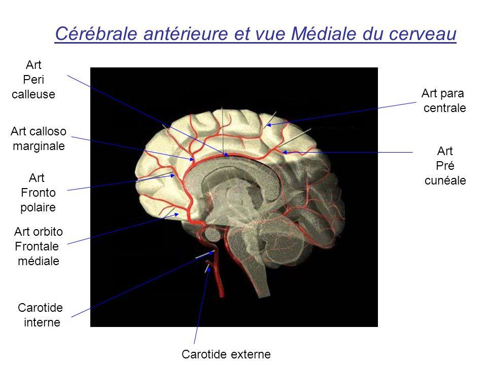 Cérébrale antérieure et vue Médiale du cerveau Art Peri calleuse Art calloso marginale Art Fronto polaire Art orbito Frontale médiale Carotide interne Carotide externe Art Pré cunéale Art para centrale
