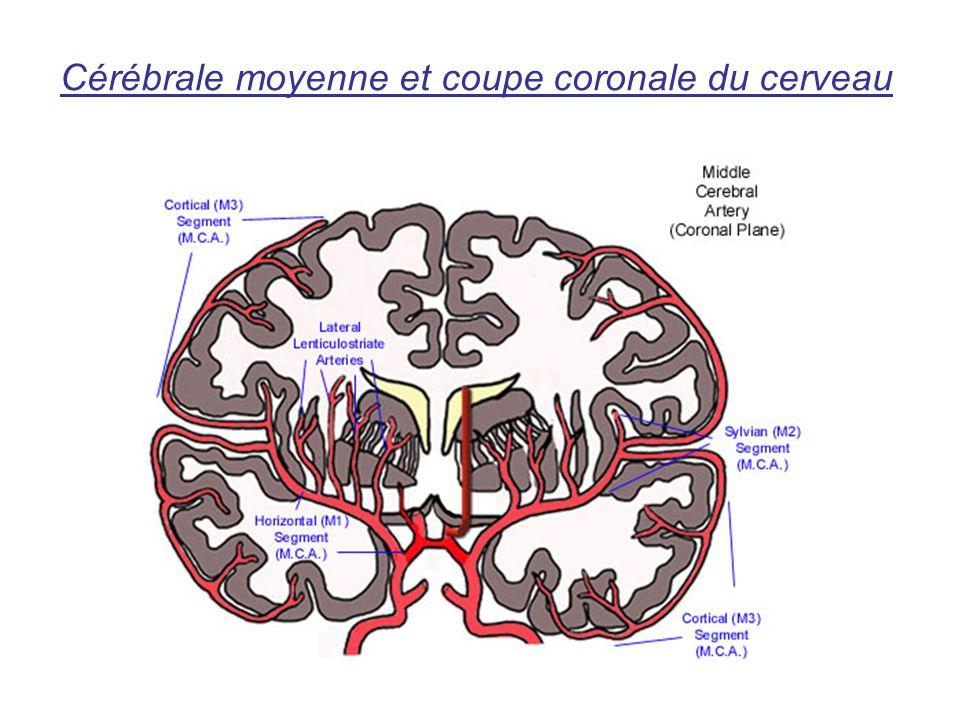 Cérébrale moyenne et coupe coronale du cerveau