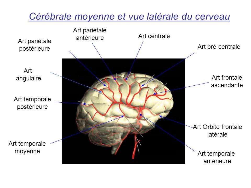Cérébrale moyenne et vue latérale du cerveau Art temporale postérieure Art angulaire Art pariétale postérieure Art pariétale antérieure Art centrale Art pré centrale Art frontale ascendante Art Orbito frontale latérale Art temporale antérieure Art temporale moyenne