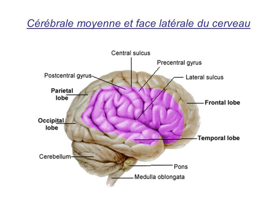 Cérébrale moyenne et face latérale du cerveau