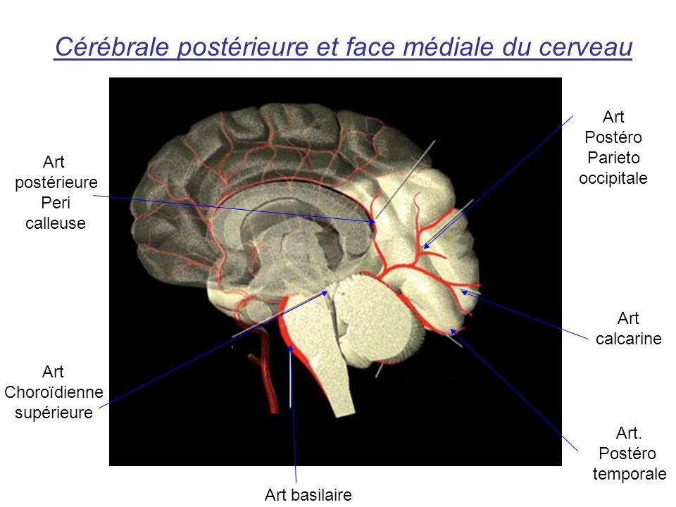 Cérébrale postérieure et face médiale du cerveau Art basilaire Art. Postéro temporale Art calcarine Art Postéro Parieto occipitale Art postérieure Per