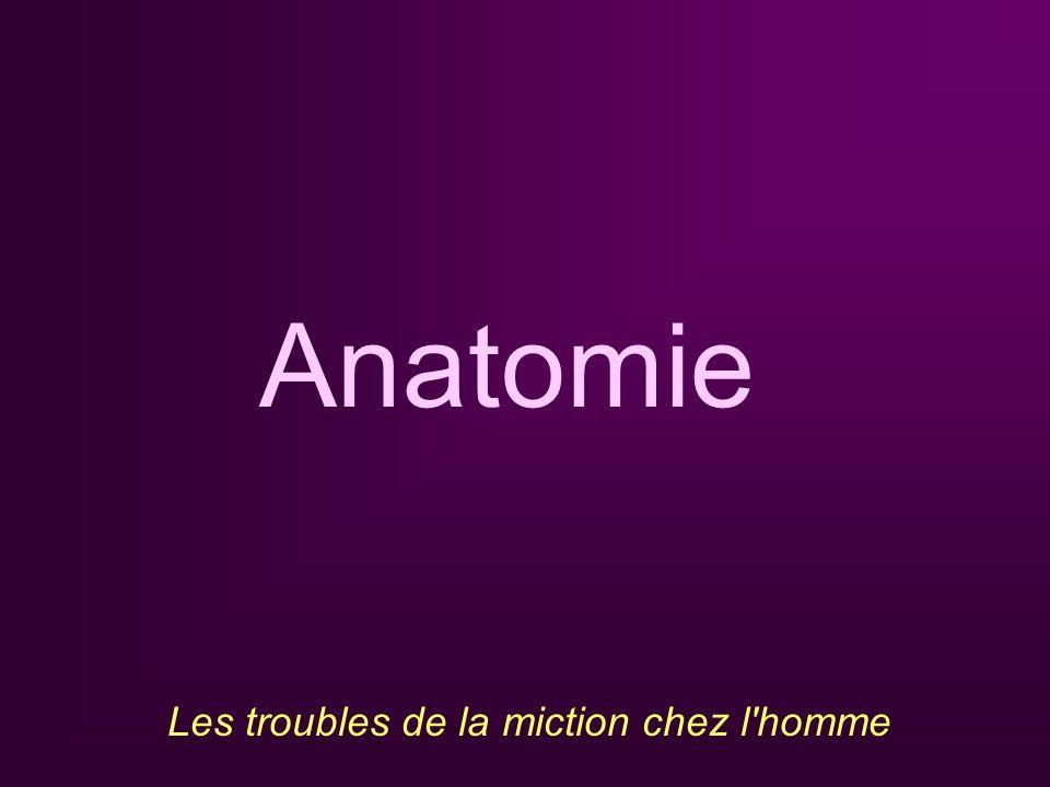 Anatomie Les troubles de la miction chez l homme