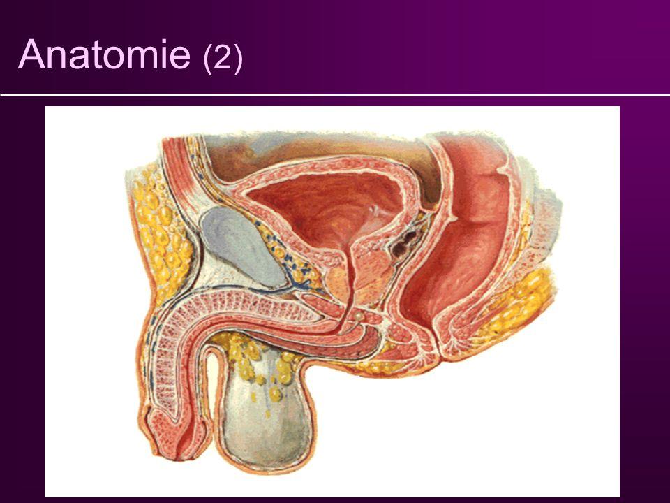 Anatomie (2) Vessie Prostate Urètre Sphincter strié Sphincter lisse