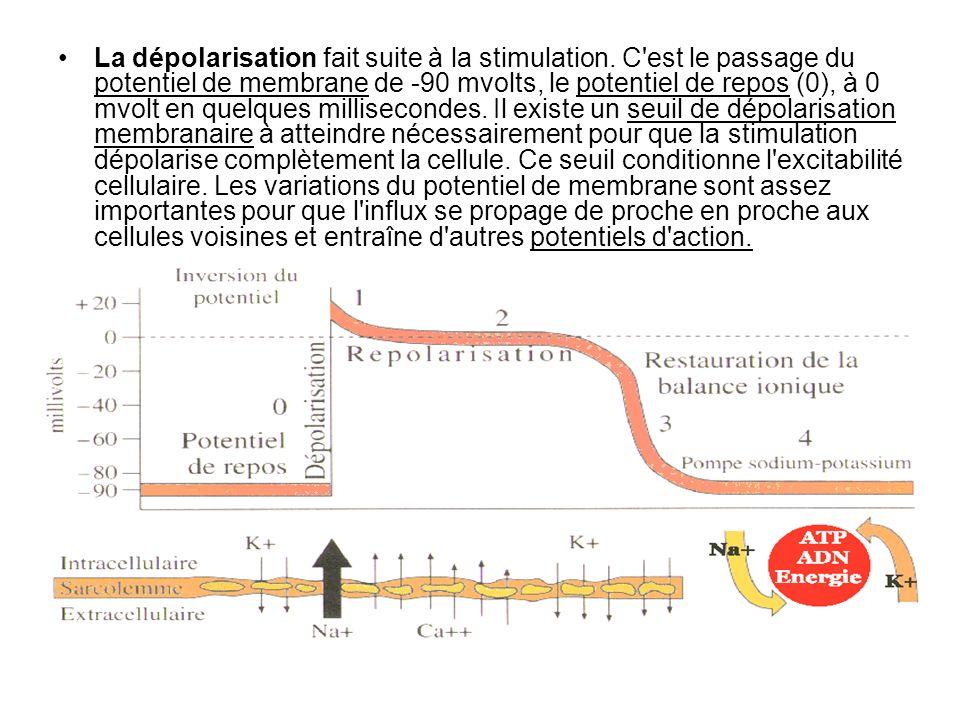 La dépolarisation fait suite à la stimulation. C'est le passage du potentiel de membrane de -90 mvolts, le potentiel de repos (0), à 0 mvolt en quelqu