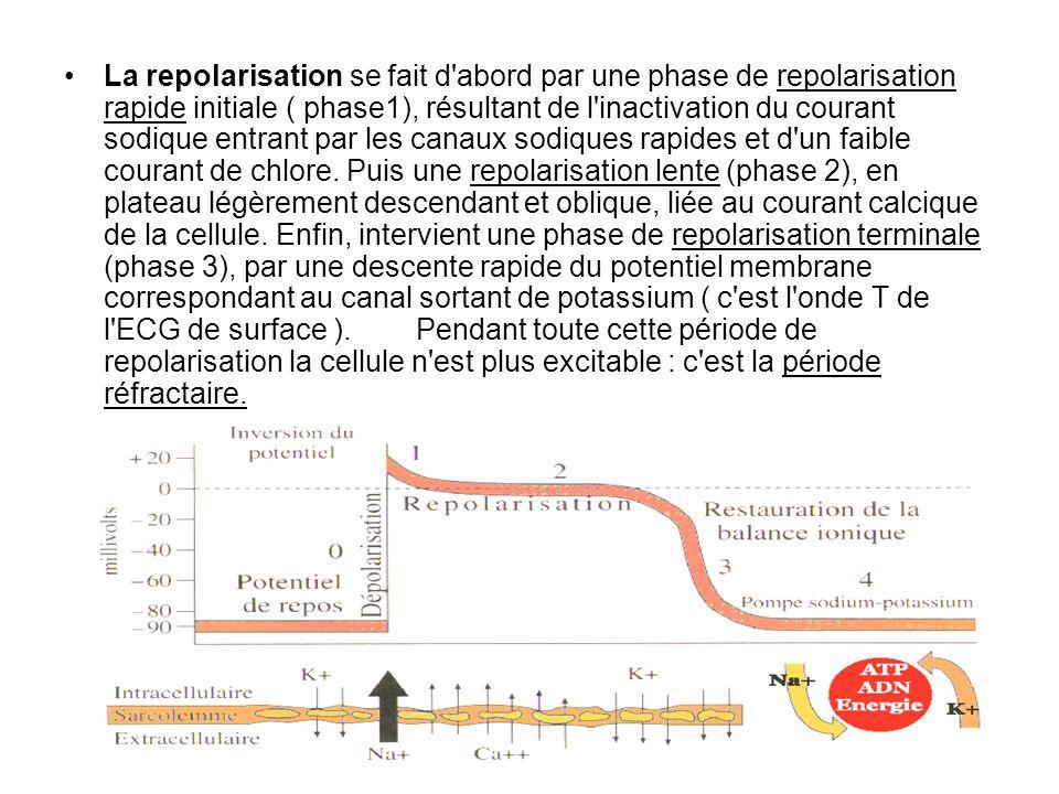 La repolarisation se fait d'abord par une phase de repolarisation rapide initiale ( phase1), résultant de l'inactivation du courant sodique entrant pa