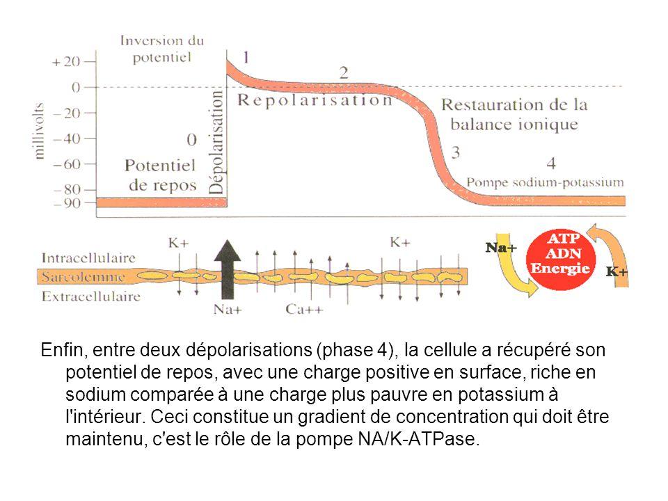 Enfin, entre deux dépolarisations (phase 4), la cellule a récupéré son potentiel de repos, avec une charge positive en surface, riche en sodium compar