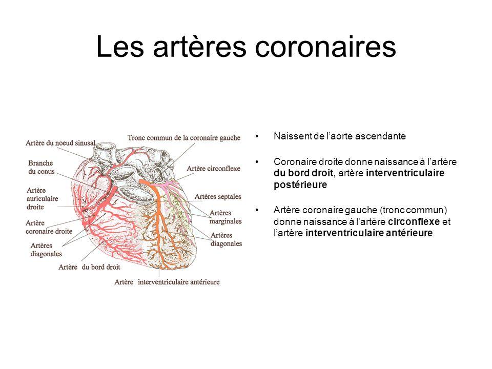 Les artères coronaires Naissent de laorte ascendante Coronaire droite donne naissance à lartère du bord droit, artère interventriculaire postérieure A