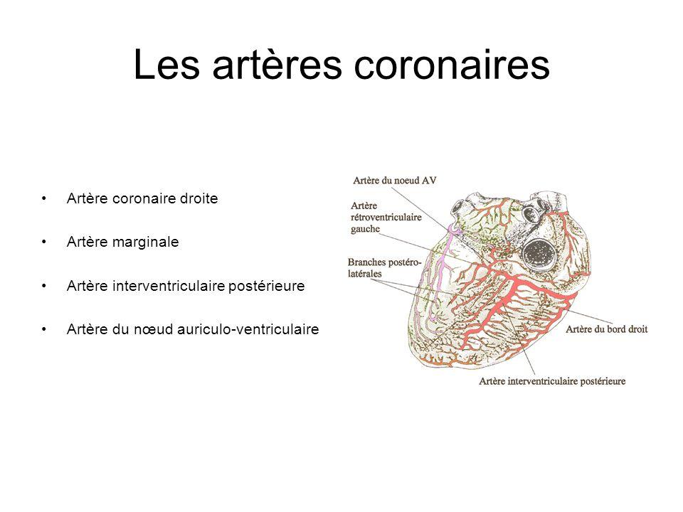 Les artères coronaires Artère coronaire droite Artère marginale Artère interventriculaire postérieure Artère du nœud auriculo-ventriculaire