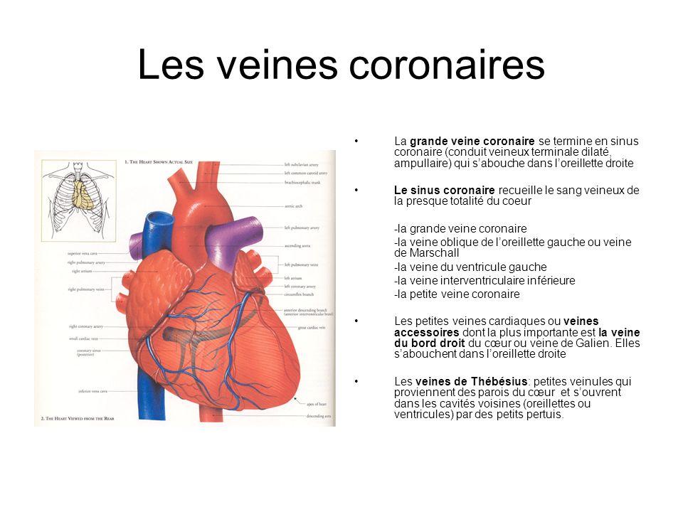 Les veines coronaires La grande veine coronaire se termine en sinus coronaire (conduit veineux terminale dilaté, ampullaire) qui sabouche dans loreill