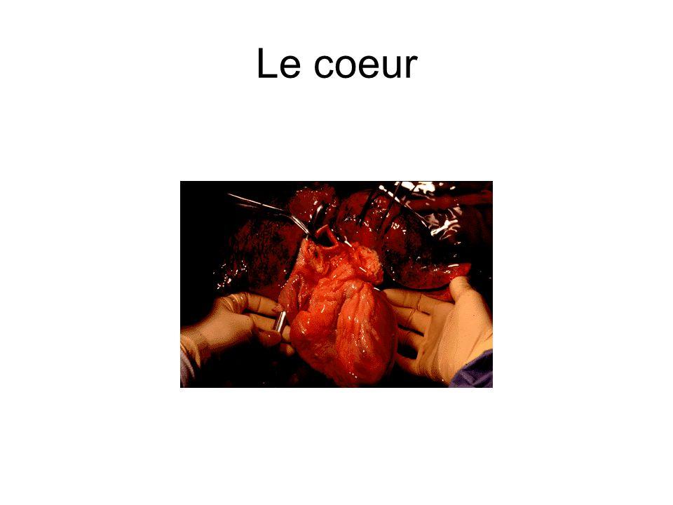 Le coeur