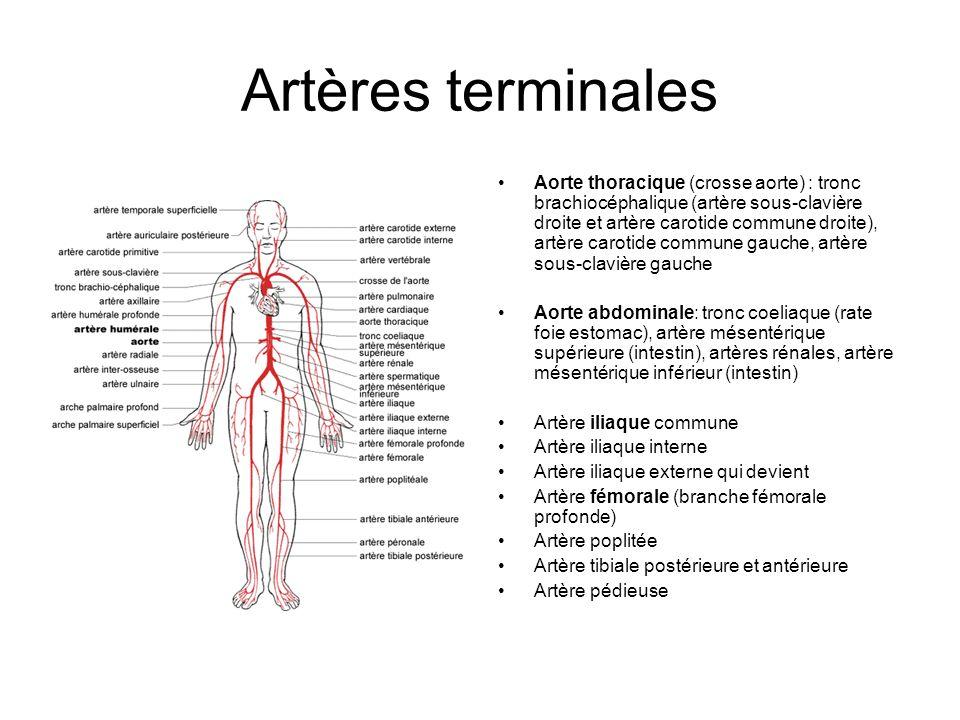 Artères terminales Aorte thoracique (crosse aorte) : tronc brachiocéphalique (artère sous-clavière droite et artère carotide commune droite), artère c