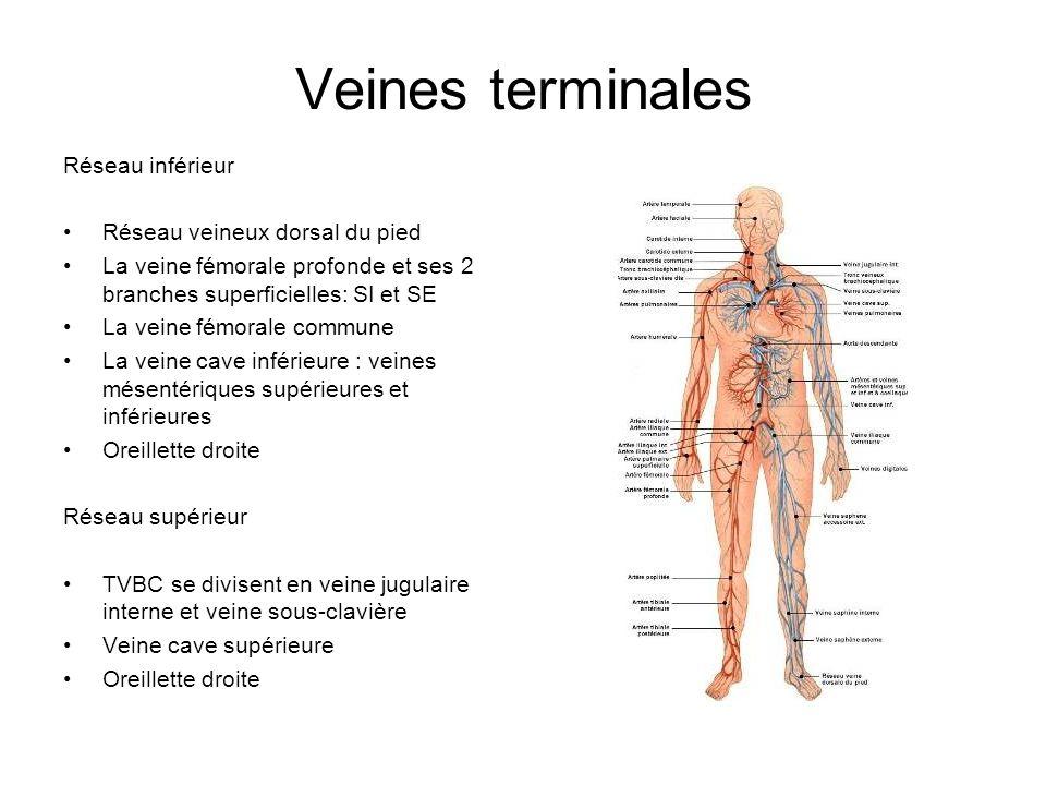 Veines terminales Réseau inférieur Réseau veineux dorsal du pied La veine fémorale profonde et ses 2 branches superficielles: SI et SE La veine fémora