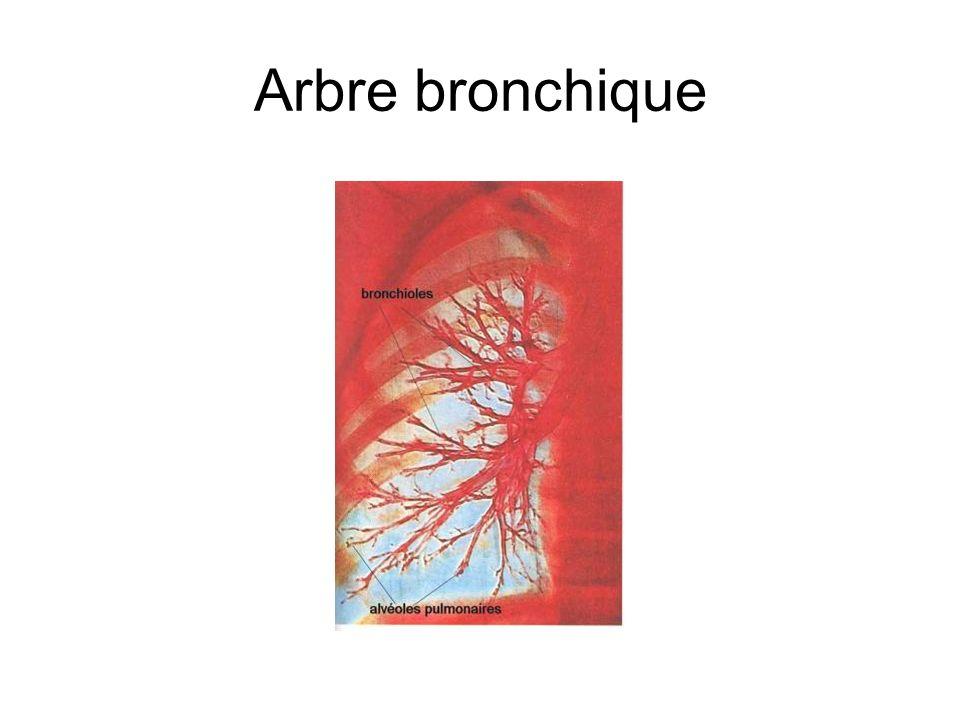 Arbre bronchique