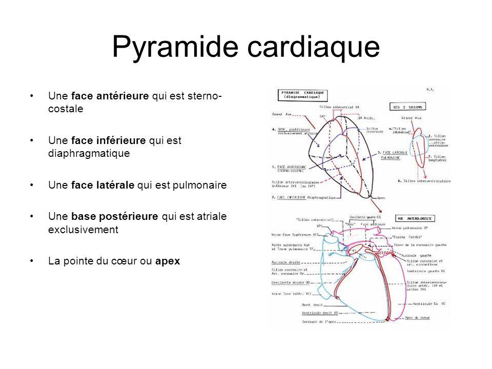 Pyramide cardiaque Une face antérieure qui est sterno- costale Une face inférieure qui est diaphragmatique Une face latérale qui est pulmonaire Une ba