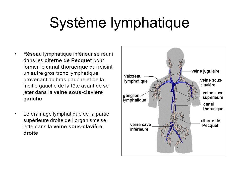 Système lymphatique Réseau lymphatique inférieur se réuni dans les citerne de Pecquet pour former le canal thoracique qui rejoint un autre gros tronc