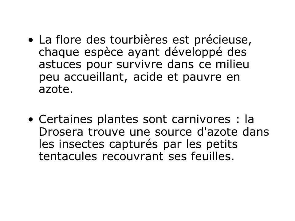La flore des tourbières est précieuse, chaque espèce ayant développé des astuces pour survivre dans ce milieu peu accueillant, acide et pauvre en azot