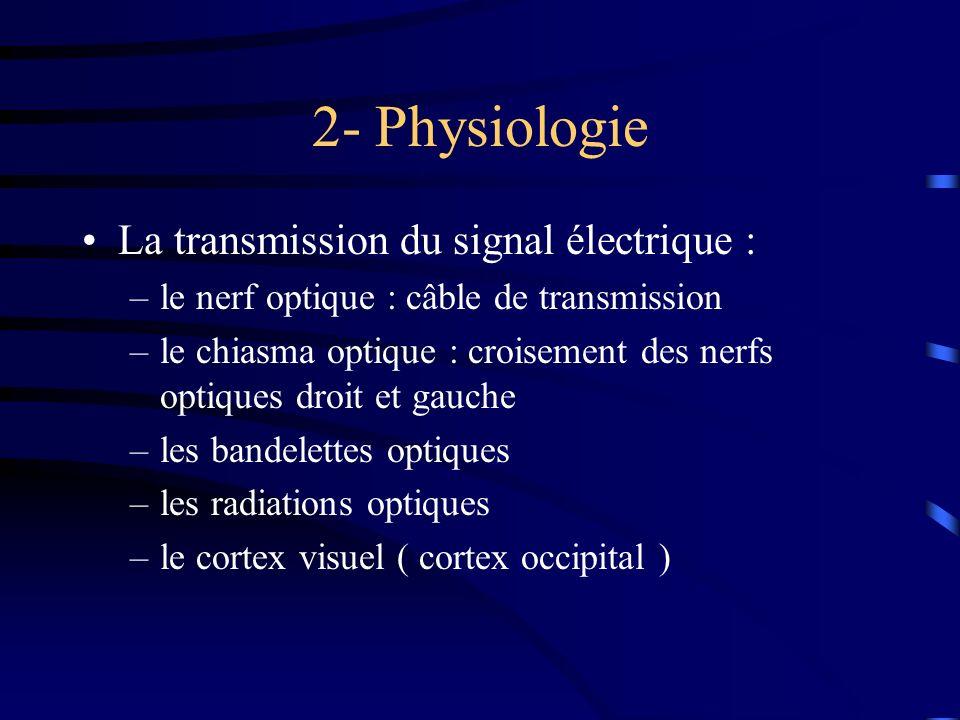 2- Physiologie La transmission du signal électrique : –le nerf optique : câble de transmission –le chiasma optique : croisement des nerfs optiques dro