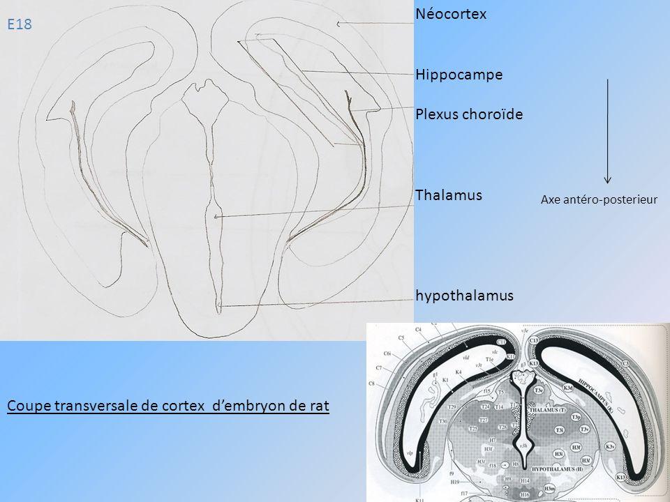 E18 Néocortex Hippocampe Plexus choroïde Thalamus hypothalamus Coupe transversale de cortex dembryon de rat Axe antéro-posterieur