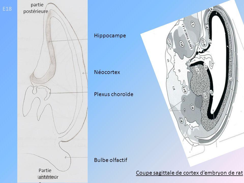 E18 Hippocampe Néocortex Plexus choroïde Bulbe olfactif Coupe sagittale de cortex dembryon de rat partie postérieure Partie antérieur e