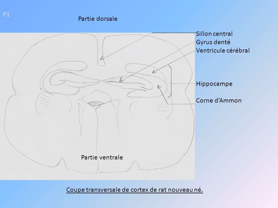 P1 Sillon central Gyrus denté Ventricule cérébral Hippocampe Corne dAmmon Coupe transversale de cortex de rat nouveau né. Partie dorsale Partie ventra