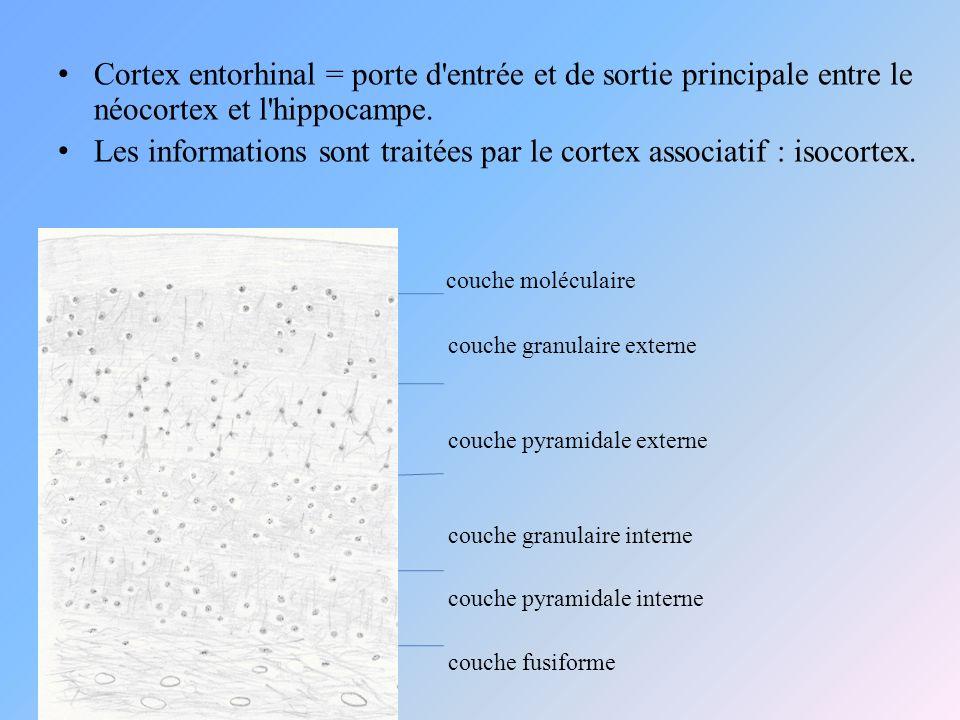 Cortex entorhinal = porte d'entrée et de sortie principale entre le néocortex et l'hippocampe. Les informations sont traitées par le cortex associatif