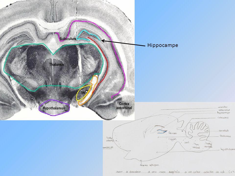 Observation de lhippocampe : Couche pyramidale Couche moléculaire Corne dAmmon Couche de cellules en corbeille Couche granulaire Gyrus denté CA1 CA2 CA3 Coupe frontale dhippocampe (*40)