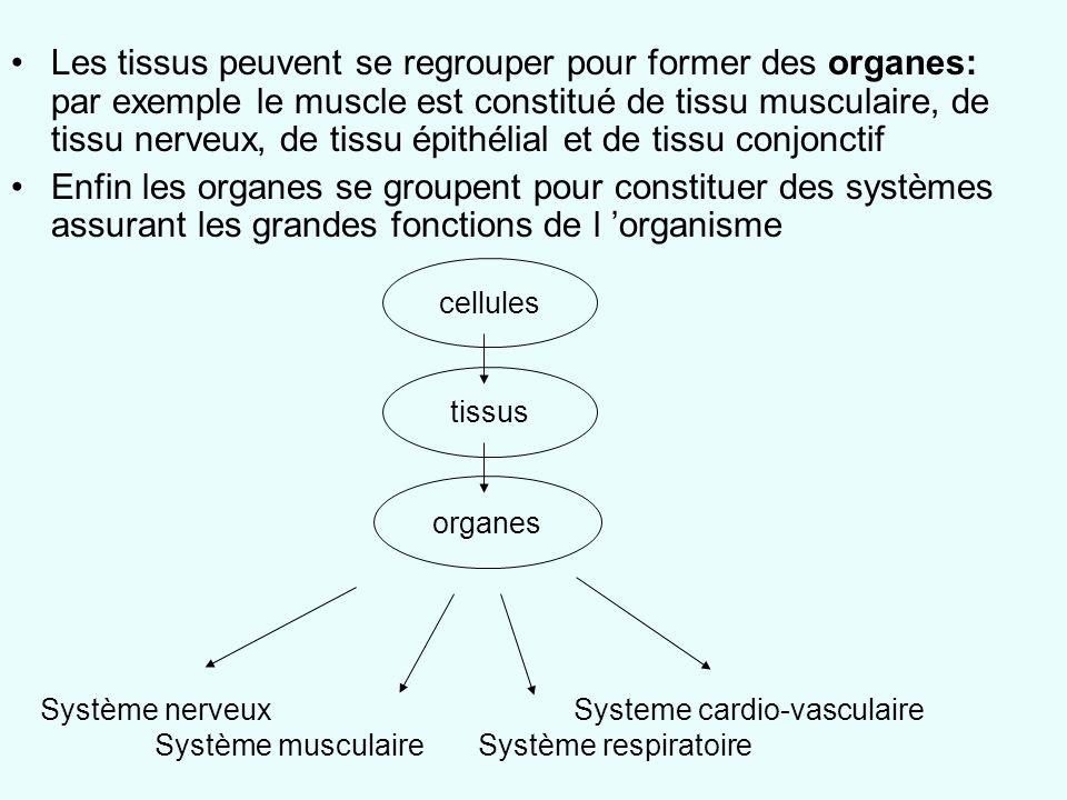 Les tissus peuvent se regrouper pour former des organes: par exemple le muscle est constitué de tissu musculaire, de tissu nerveux, de tissu épithélia