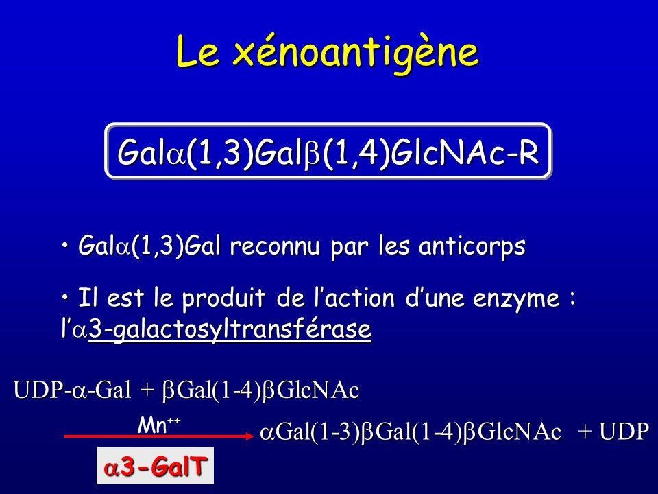 Le xénoantigène Gal (1,3)Gal reconnu par les anticorps Gal (1,3)Gal reconnu par les anticorps Il est le produit de laction dune enzyme : l 3-galactosy