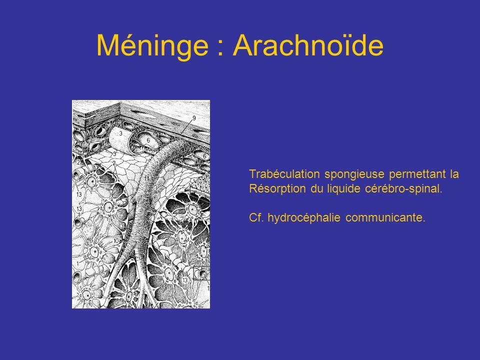 Méninge : Arachnoïde Trabéculation spongieuse permettant la Résorption du liquide cérébro-spinal. Cf. hydrocéphalie communicante.
