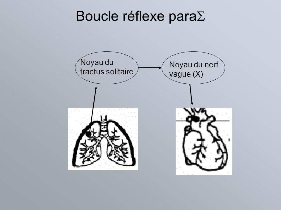 Boucle réflexe para Noyau du tractus solitaire Noyau du nerf vague (X)