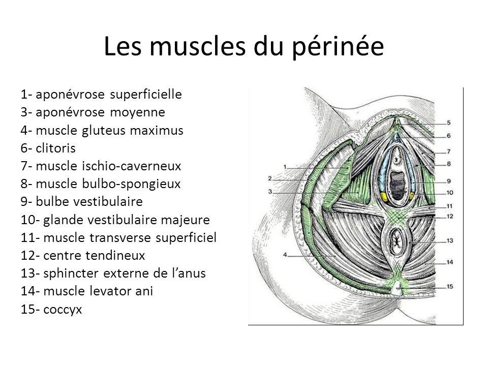 Les muscles du périnée 1- aponévrose superficielle 3- aponévrose moyenne 4- muscle gluteus maximus 6- clitoris 7- muscle ischio-caverneux 8- muscle bulbo-spongieux 9- bulbe vestibulaire 10- glande vestibulaire majeure 11- muscle transverse superficiel 12- centre tendineux 13- sphincter externe de lanus 14- muscle levator ani 15- coccyx
