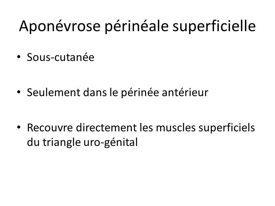 Aponévrose périnéale superficielle Sous-cutanée Seulement dans le périnée antérieur Recouvre directement les muscles superficiels du triangle uro-génital