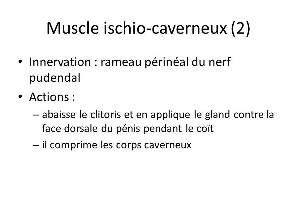 Muscle ischio-caverneux (2) Innervation : rameau périnéal du nerf pudendal Actions : – abaisse le clitoris et en applique le gland contre la face dorsale du pénis pendant le coït – il comprime les corps caverneux