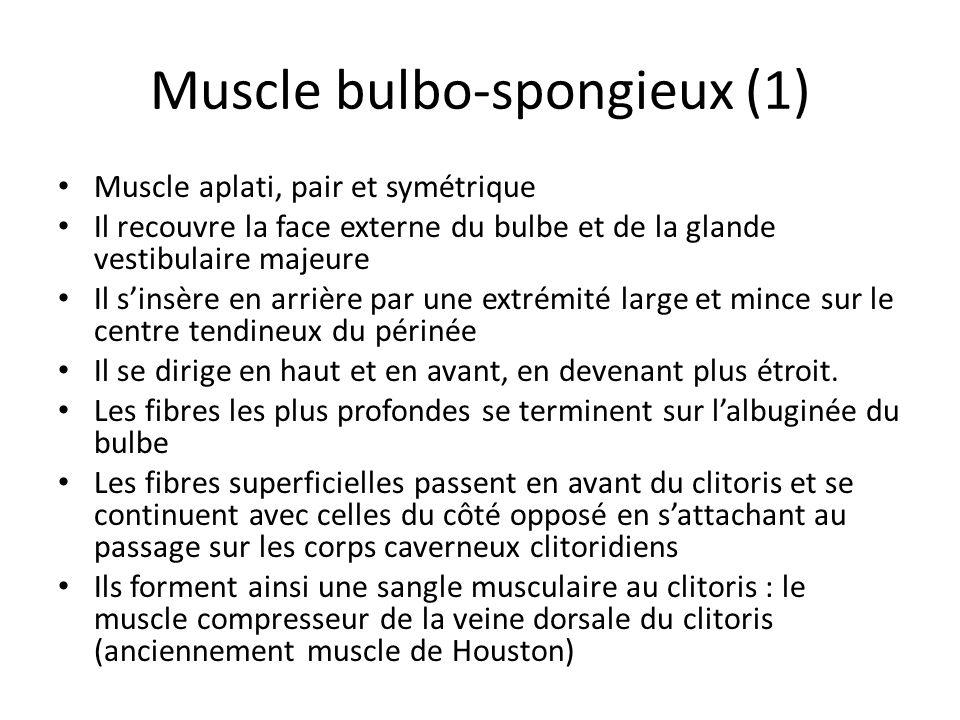 Muscle bulbo-spongieux (1) Muscle aplati, pair et symétrique Il recouvre la face externe du bulbe et de la glande vestibulaire majeure Il sinsère en arrière par une extrémité large et mince sur le centre tendineux du périnée Il se dirige en haut et en avant, en devenant plus étroit.