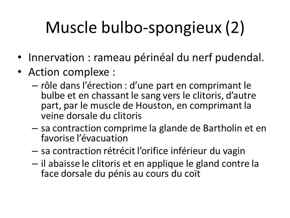 Muscle bulbo-spongieux (2) Innervation : rameau périnéal du nerf pudendal. Action complexe : – rôle dans lérection : dune part en comprimant le bulbe