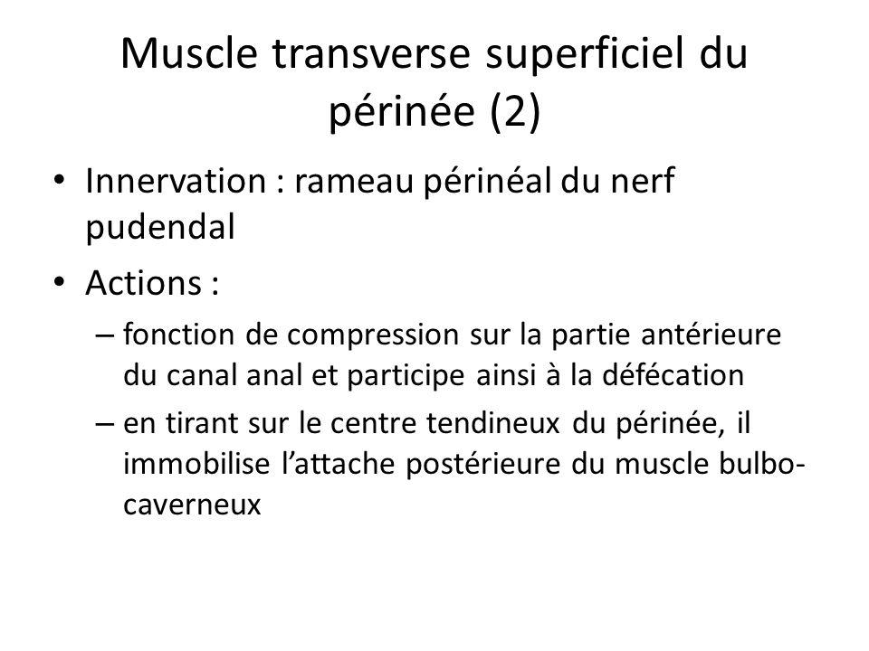 Muscle transverse superficiel du périnée (2) Innervation : rameau périnéal du nerf pudendal Actions : – fonction de compression sur la partie antérieure du canal anal et participe ainsi à la défécation – en tirant sur le centre tendineux du périnée, il immobilise lattache postérieure du muscle bulbo- caverneux