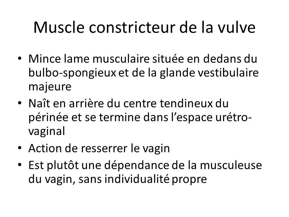 Muscle constricteur de la vulve Mince lame musculaire située en dedans du bulbo-spongieux et de la glande vestibulaire majeure Naît en arrière du centre tendineux du périnée et se termine dans lespace urétro- vaginal Action de resserrer le vagin Est plutôt une dépendance de la musculeuse du vagin, sans individualité propre