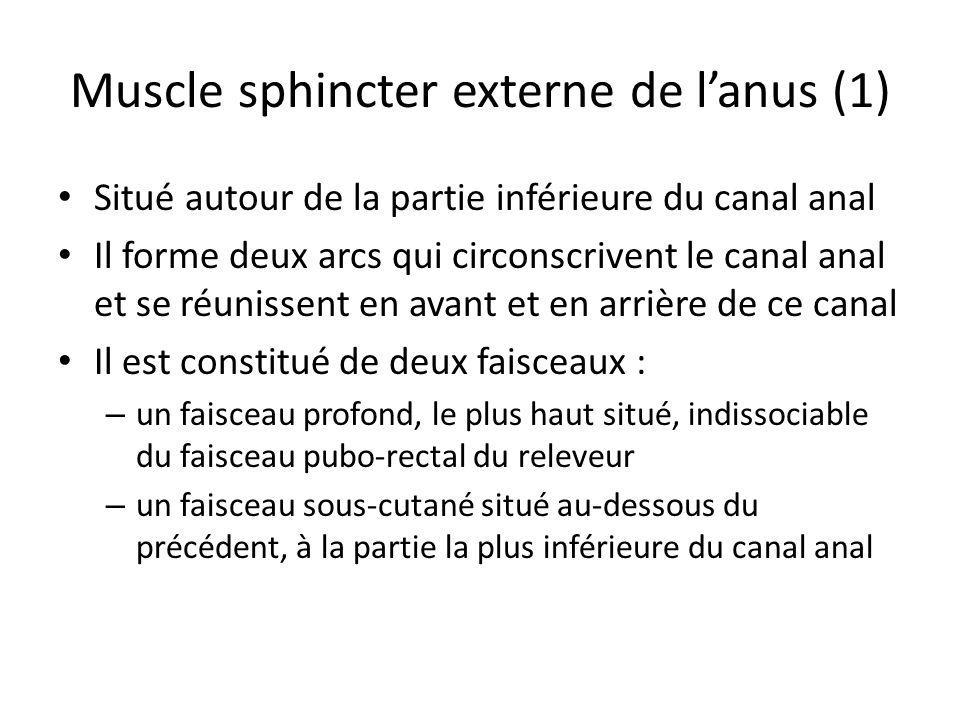 Muscle sphincter externe de lanus (1) Situé autour de la partie inférieure du canal anal Il forme deux arcs qui circonscrivent le canal anal et se réunissent en avant et en arrière de ce canal Il est constitué de deux faisceaux : – un faisceau profond, le plus haut situé, indissociable du faisceau pubo-rectal du releveur – un faisceau sous-cutané situé au-dessous du précédent, à la partie la plus inférieure du canal anal