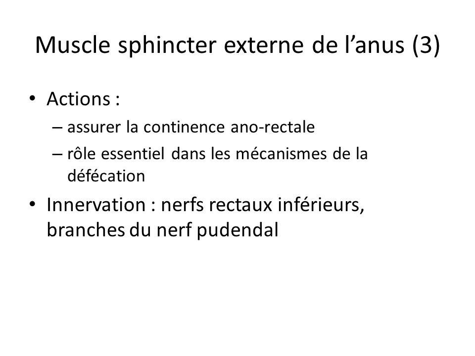 Muscle sphincter externe de lanus (3) Actions : – assurer la continence ano-rectale – rôle essentiel dans les mécanismes de la défécation Innervation : nerfs rectaux inférieurs, branches du nerf pudendal