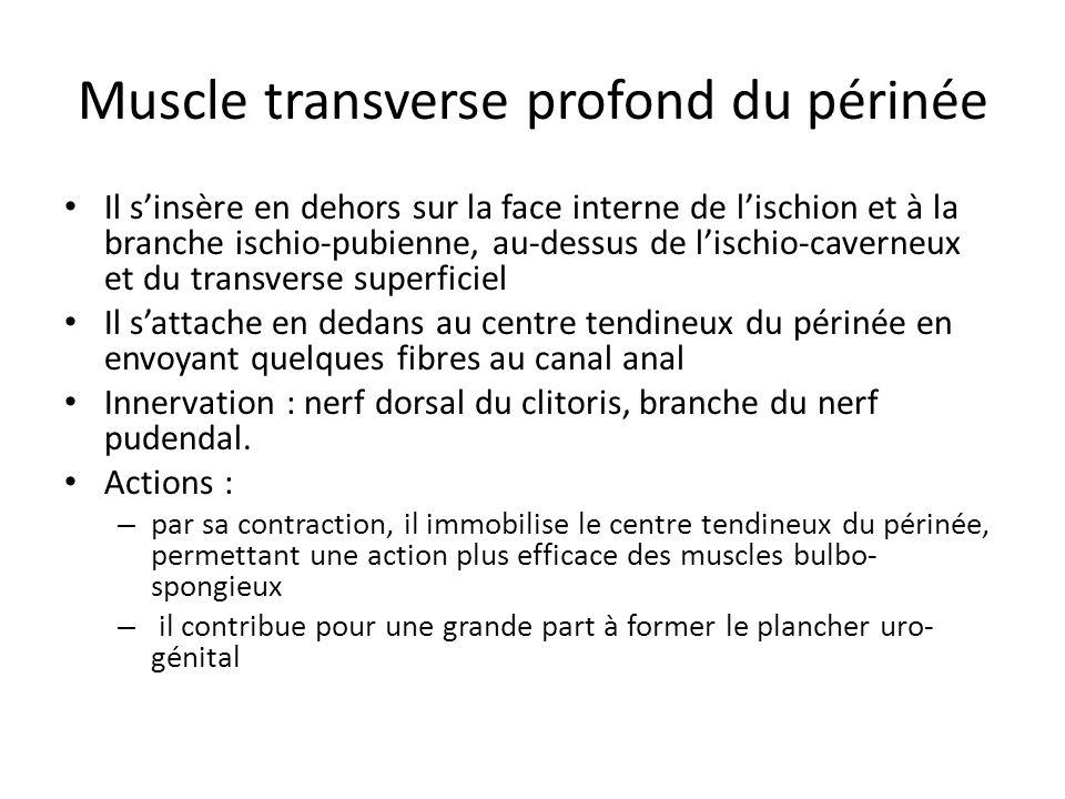 Muscle transverse profond du périnée Il sinsère en dehors sur la face interne de lischion et à la branche ischio-pubienne, au-dessus de lischio-cavern