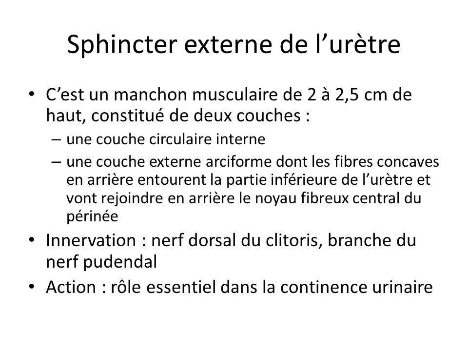 Sphincter externe de lurètre Cest un manchon musculaire de 2 à 2,5 cm de haut, constitué de deux couches : – une couche circulaire interne – une couche externe arciforme dont les fibres concaves en arrière entourent la partie inférieure de lurètre et vont rejoindre en arrière le noyau fibreux central du périnée Innervation : nerf dorsal du clitoris, branche du nerf pudendal Action : rôle essentiel dans la continence urinaire
