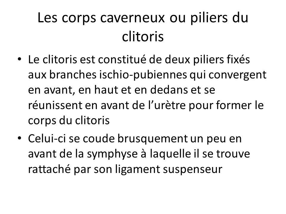 Les corps caverneux ou piliers du clitoris Le clitoris est constitué de deux piliers fixés aux branches ischio-pubiennes qui convergent en avant, en h