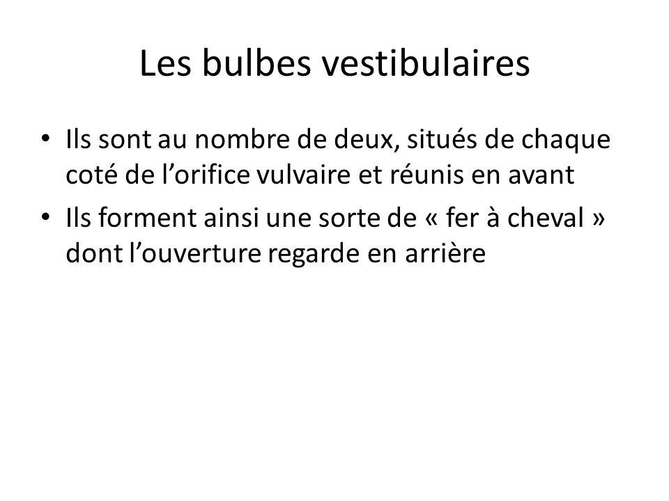 Les bulbes vestibulaires Ils sont au nombre de deux, situés de chaque coté de lorifice vulvaire et réunis en avant Ils forment ainsi une sorte de « fer à cheval » dont louverture regarde en arrière