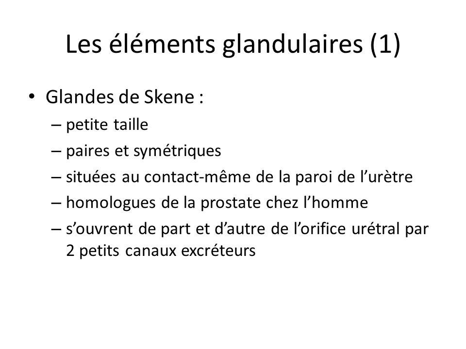 Les éléments glandulaires (1) Glandes de Skene : – petite taille – paires et symétriques – situées au contact-même de la paroi de lurètre – homologues de la prostate chez lhomme – souvrent de part et dautre de lorifice urétral par 2 petits canaux excréteurs